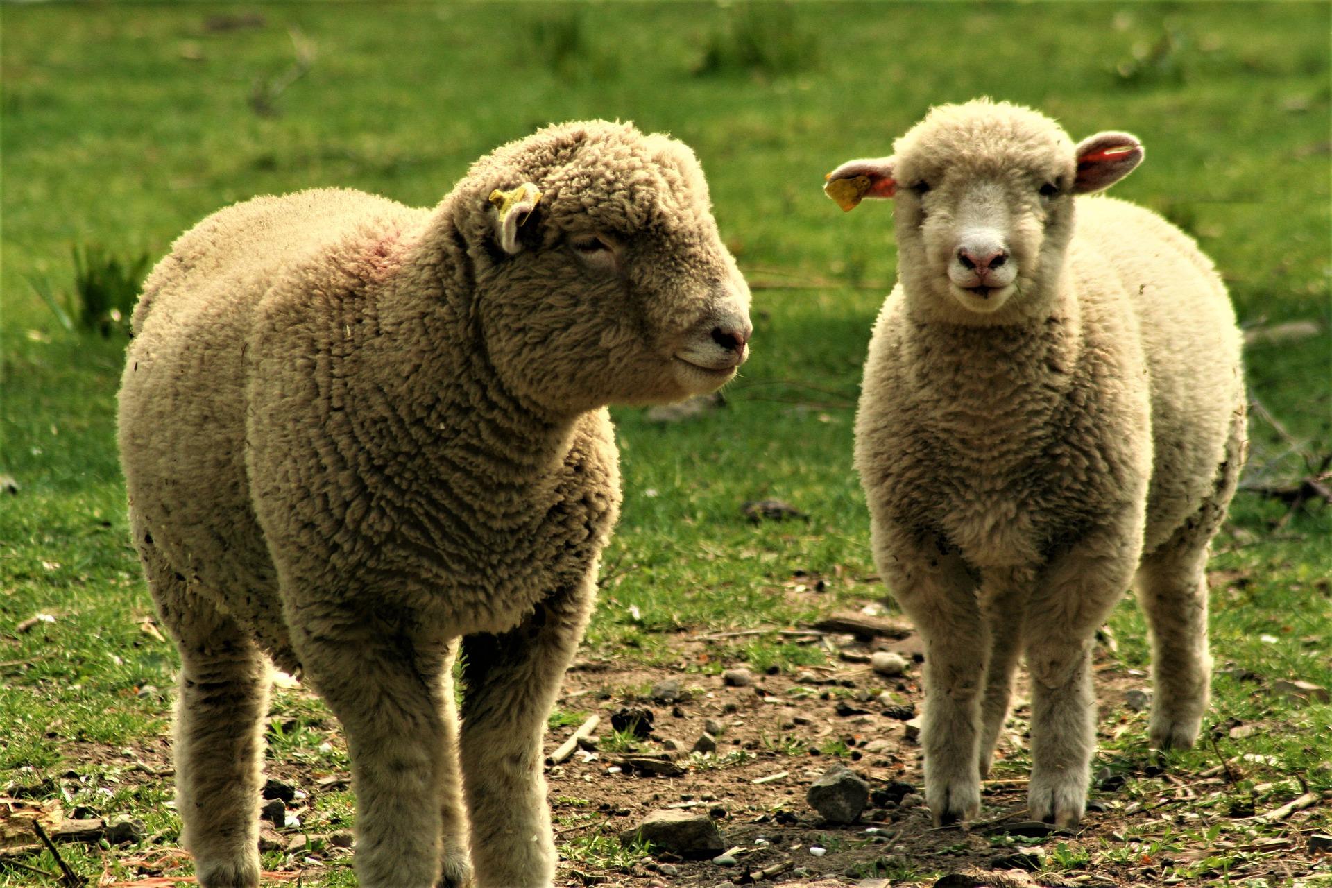 Brebis mouton troupeau frères